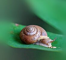 Woodland Snail on Sassafras Leaf by MotherNature