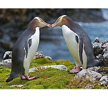 Yellow-eyed Penguins Photographic Print