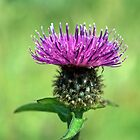 Common Knapweed,wild flower by Margaret S Sweeny