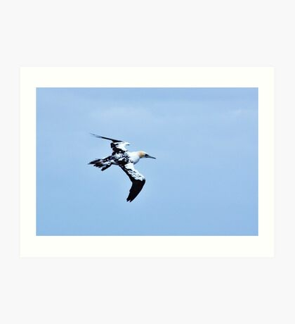 flying gannet  Art Print