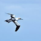 flying gannet  by xxnatbxx
