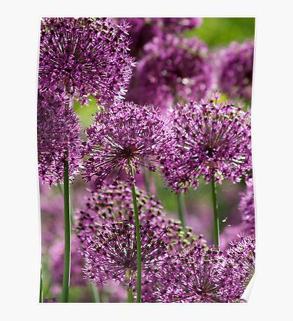 Alliums in Hampshire Poster