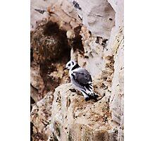 young kittiwake bird Photographic Print