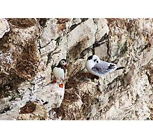puffin and kittiwake on bempton cliffs Photographic Print