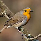 Robin in the woods by M.S. Photography/Art