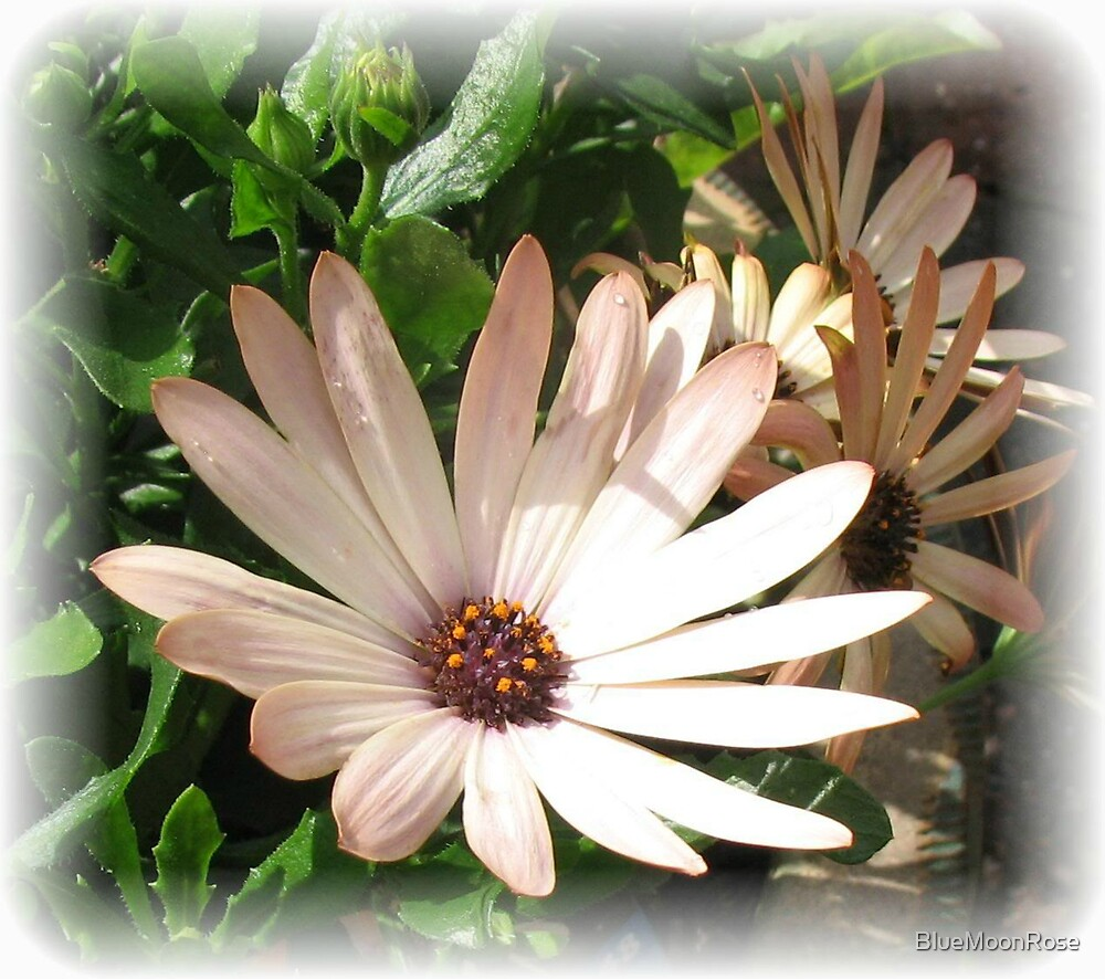 Daisy, Daisy - Rectangular Vignette by BlueMoonRose
