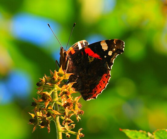 Red Admiral Butterfly, Nunnery Lane, Darlington.England by Ian Alex Blease