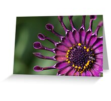 African Trailing Daisy Greeting Card