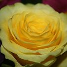 soft yellow rose by Jodie  Davison