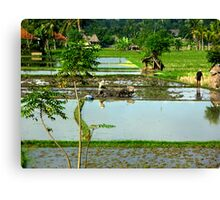 busy times in rice paddy Canvas Print