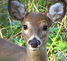 Doe in the Woods by lorilee