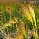 Foxtails by rocamiadesign