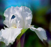 White Iris by Elaine  Manley