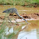 natureal moments,blue heron by gene mcfarland
