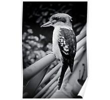 Kookaburra - Survey Poster