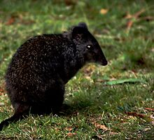 Mr Potoroo came over to the campfire. by myraj