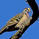 The Common bronzewing by Rick Playle