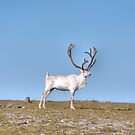 Reindeer at the Northcape by Frits Klijn (klijnfoto.nl)