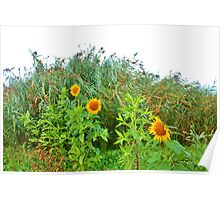 Sunflowers Playing Hide-and-seek Behind the Tall Grass - Ardingly Poster