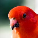 Australian King Parrot (male) by Jordan Miscamble