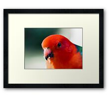 Australian King Parrot (male) Framed Print