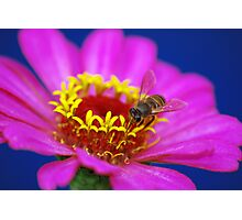 Busy Bee Loves Zinnia Photographic Print