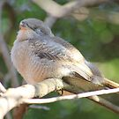 Fiscal Shrike Fledgling, taking a nap by Maree  Clarkson