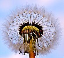 The seeds of  dandelion ! by siggabach
