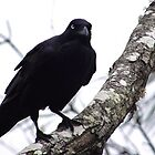 The Watcher - Australian Crow by MiloAddict