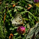 Lets Rest ~ American Apollo Butterfly ~ by Charles & Patricia   Harkins ~ Picture Oregon