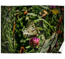 Lets Rest ~ American Apollo Butterfly ~ Poster