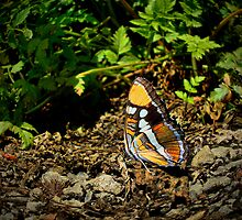 California Sister Butterfly ~ Adelpha bredowii ~  by Charles & Patricia   Harkins ~ Picture Oregon