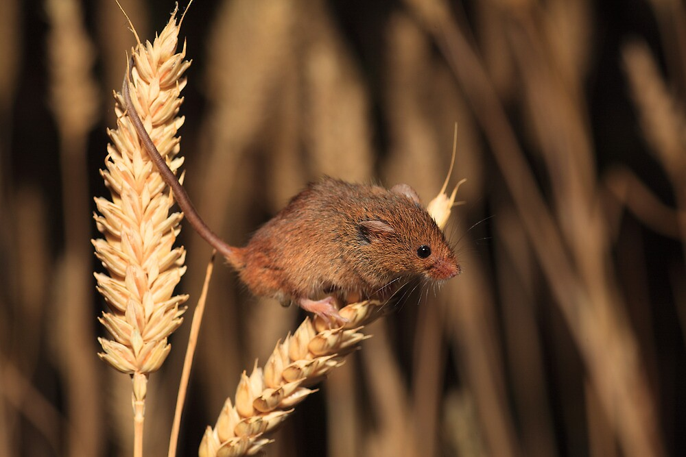 Harvest Mouse (Micromys minutus) by Norfolkimages