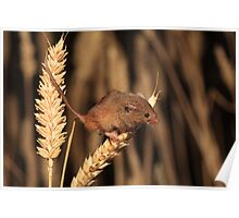 Harvest Mouse (Micromys minutus) Poster
