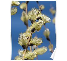 Spring Willows Poster