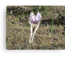 Shining Crocus Canvas Print
