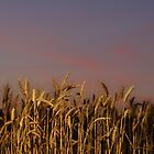 Palouse Wheat at Sunset by Paul Morgan
