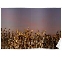 Palouse Wheat at Sunset Poster