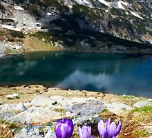 wild violet flower on the mountain by plamenx