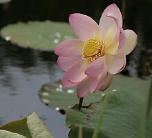 Lotus in the evening by orko