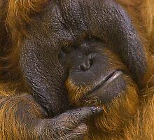 Orangutan by cameraimagery