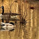 Geese on Golden Pond by Susan Blevins