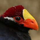 Violet Turaco (Musophaga violacea) by Mark Hughes