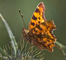 Comma Butterfly by theriverrat
