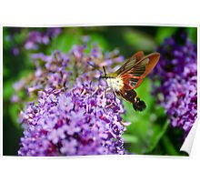 Hummingbird Clearwing on Butterfly Bush Poster