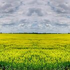 Canola Field (Pano) by Larry Trupp