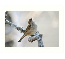 House sparrow poses for the camera Art Print