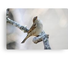 House sparrow poses for the camera Metal Print