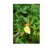 Cloudless Sulphur butterfly in Mahogany Vine Art Print