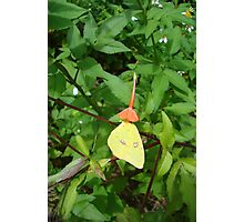Cloudless Sulphur butterfly in Mahogany Vine Photographic Print